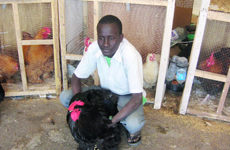 L 39 esprit malin d 39 un jeune pikinois pour les poules rares for Traitement pour les poules